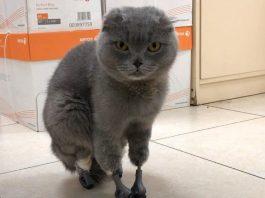 Кошка на протезах
